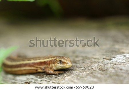 viviparous lizard with eye in focus - stock photo