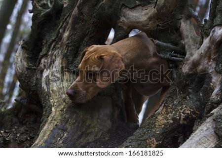 Vizsla Dalmatian Mix in the forest - stock photo