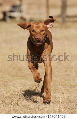 Vizsla dog - stock photo