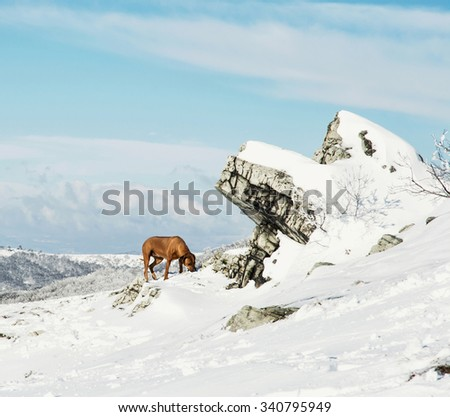 Vizsla dog in the snowy winter landscape. Rocks and clouds. Natural scene. - stock photo