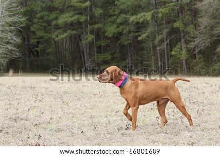 Vizsla Dog on Point Photograph - stock photo