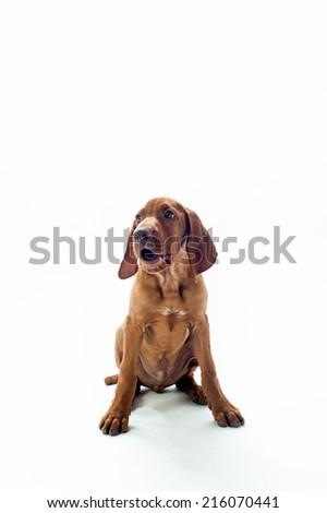 VIzsla dog sitting looking to side isolated on white background - stock photo