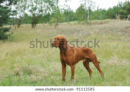 Vizsla / Hungarian Vizsla dog portrait in garden - stock photo