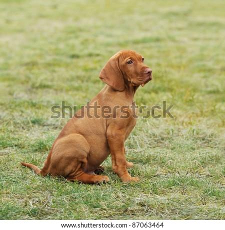 Vizsla / Hungarian Vizsla dog puppy portrait in garden - stock photo