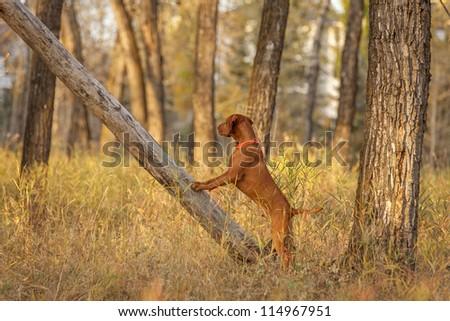 Vizsla hunting  dog in forest - stock photo