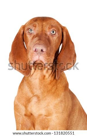 vizsla puppy - stock photo