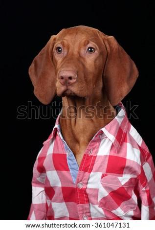 Vizsla puppy in a red plaid shirt, portrait - stock photo
