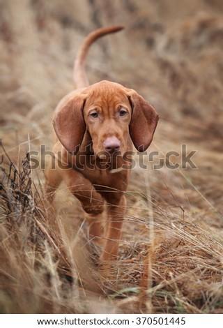 Vizsla puppy in the grass - stock photo