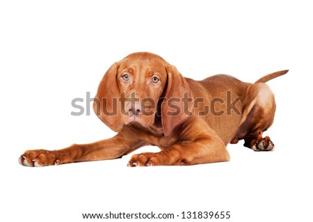 vizsla puppy lying down - stock photo
