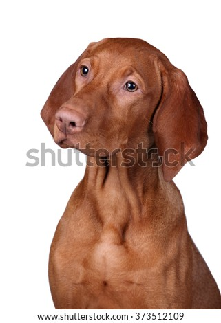 Vizsla puppy portrait on a white background - stock photo