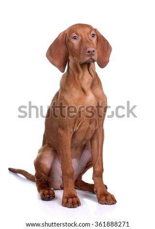 Vizsla puppy sitting on a white background - stock photo