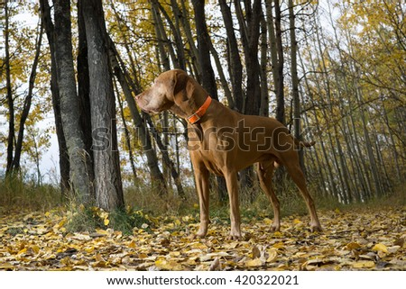 vizsla standing in forest in fall setting