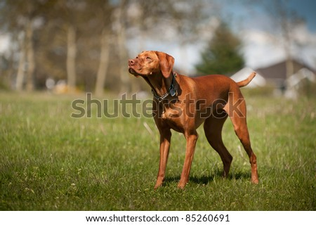 Vizsla stands at alert in a grass field in a park.