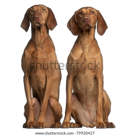Vizslas, 5 and 2 years old, sitting in front of white background - stock photo