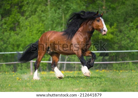 Vladimir draft horse runs gallop on the meadow in summer time - stock photo
