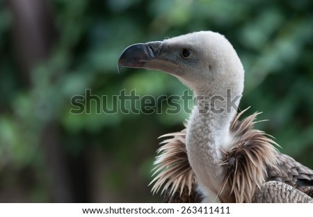 vulture,bird of prey - stock photo