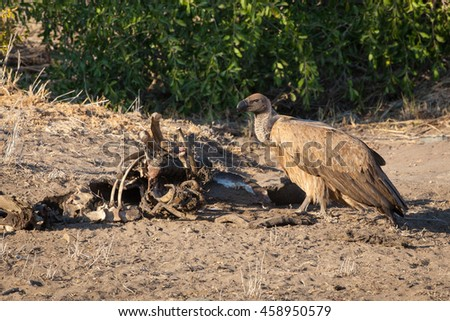 Vulture feeding on a carcass in the Kruger National Park - South Africa