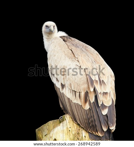 Vulture female isolated on black close up - stock photo