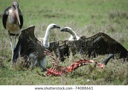 Animals Fighting For Food Vulture fighting over food