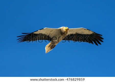 vulture flying in sky Egyptian Vulture