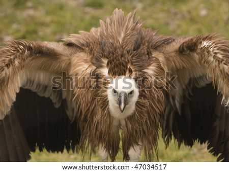 Vulture, Griffin Vulture - stock photo
