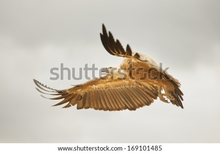 Vulture (Gyps fulvus) flying at Extremadura, Spain