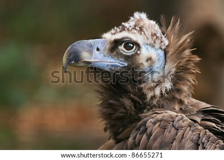 vulture in detail