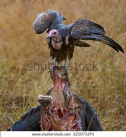 Vulture on buffalo kill - stock photo