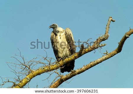 Vulture on the tree in Queen Elizabeth National Park, Uganda - stock photo