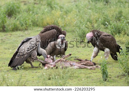 Vultures feeding on kill on the Serengetti plains - stock photo