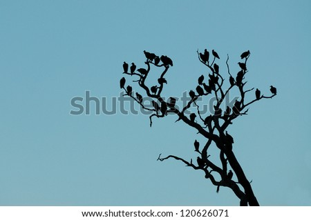 vultures in a tree - stock photo