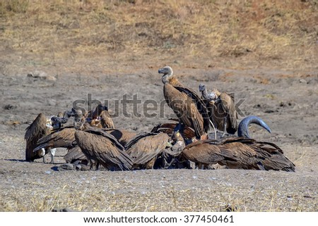 Vultures in Kruger park - South Africa - stock photo