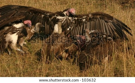 vultures on a kill 3,04 - stock photo