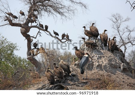 Vultures waiting near dead elephant in Botswana's Okavango Delta - stock photo
