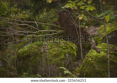 VYBORG, RUSSIA - OCTOBER 4, 2015: Squirrel sitting on a rock in the autumn Monrepos (Mon Repos) landscape park at Vyborg, Russia