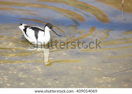 Wading Bird, Avocet wading in the water - stock photo