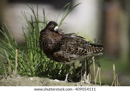 Wading Bird, The ruff (Philomachus pugnax) male  - stock photo