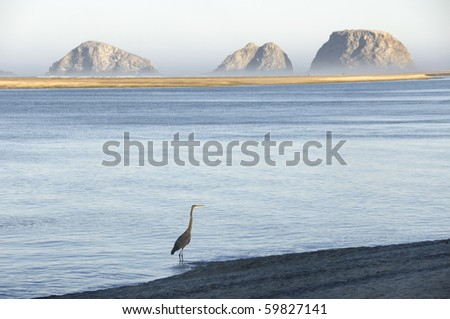 Wading Great Blue Heron at Netarts Bay on the Oregon coast with Three Arch Rocks in the background