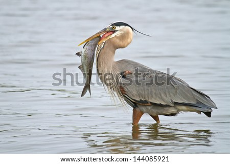 Wading Great Blue Heron With Fish - stock photo