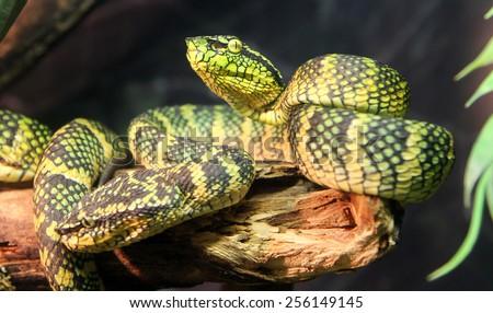 Wagler's palm viper snake - stock photo