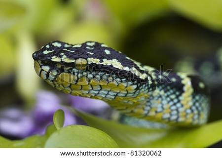Wagler's pit viper, temple viper, temple pit viper, bamboo snake, temple snake, speckled pit viper (Tropidolaemus wagleri) - Temple of the Azure Cloud - stock photo