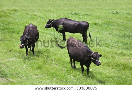 Wagyu, shorthorn cattle in Japan, an internationally recognized brand of beef - stock photo