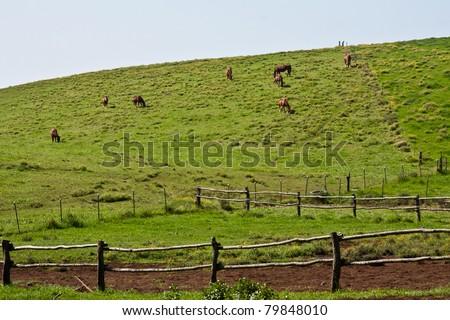 Waimea Horses - stock photo