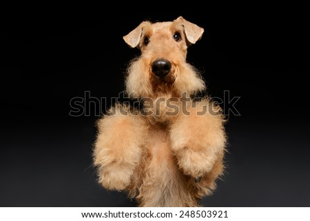 Waiting for a delicious treat. Black brown Airedale Terrier dog standing on hind paws isolated on black background - stock photo