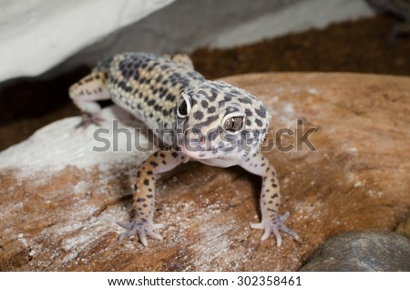 waiting for food...leopard gecko - stock photo