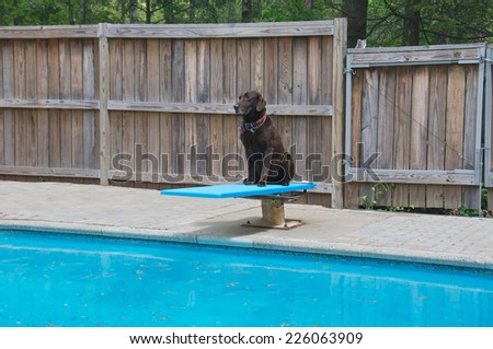 Waiting for the pool to be cleaned the dog waits patiently on the diving board - stock photo