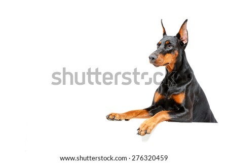 Waiting for you. Portrait of doberman pinscher peering out on isolated white background. - stock photo