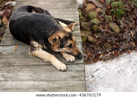 Waiting sad dog. Big dog  lying on the wood bridge. Waiting or Loneliness concept. The Dog missing his owner. Selective focus. - stock photo