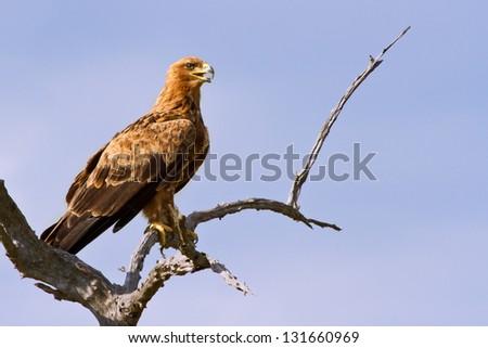 Walhlberg's Eagle sitting on branch dead tree blue sky - stock photo