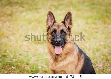 Walk with a German Shepherd - stock photo